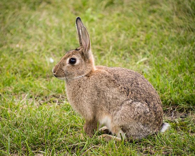 metro rabbit
