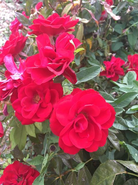 Rose Garden at Memorial Park