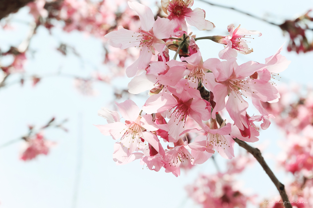 cherry-blossoms-cinging-taiwan
