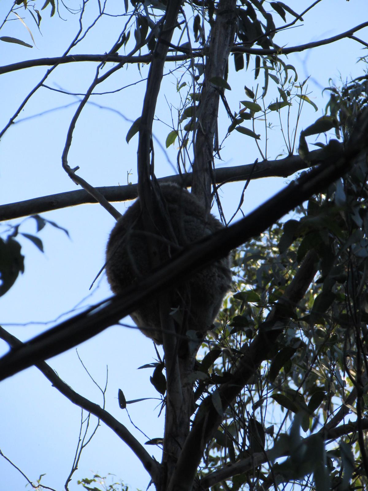 Koala #3, also fast asleep