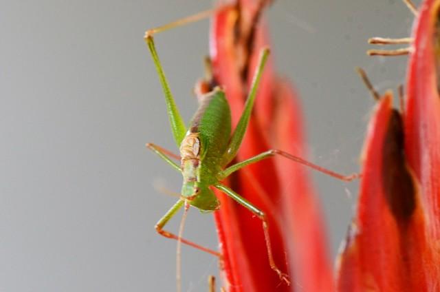 Grasshopper on Bromelia 23.08 (1)