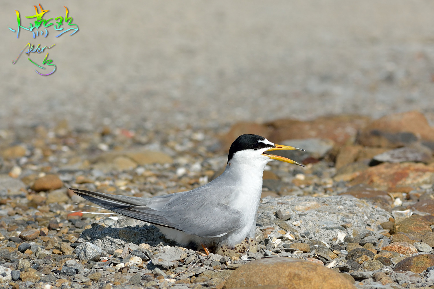 Little_Tern_3460