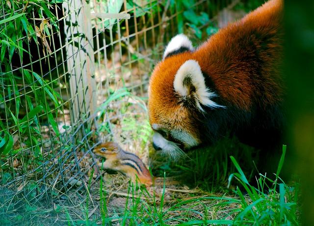 Red Panda_3