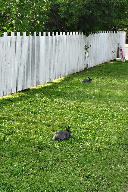 Bunnies in Canmore