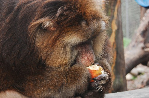 The macaques love pomegranates