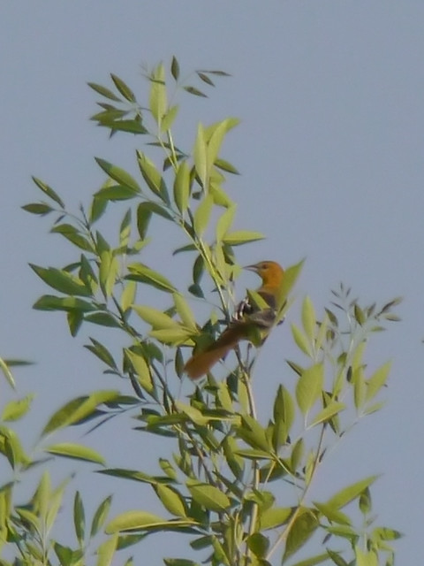 Baltimore Oriole - 2