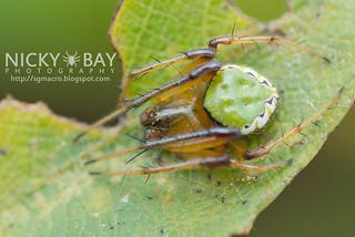 Orb Weaver Spider (Araneus noegeatus) - DSC_5078