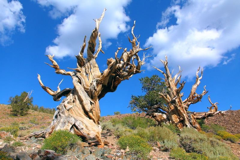 IMG_6547 Great Basin Bristlecone Pine (Pinus longaeva)