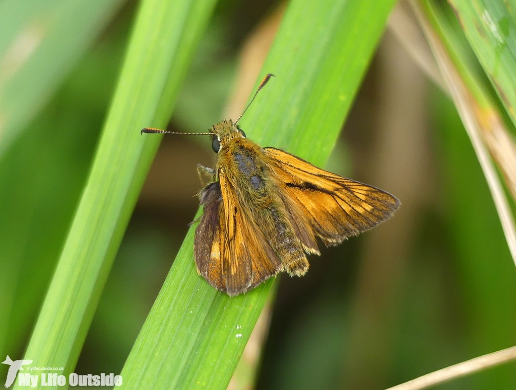P1030581 - Large Skipper, Wicken Fen