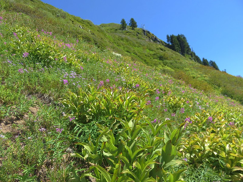 Fireweed and aster along the Paradise Park Loop Trail