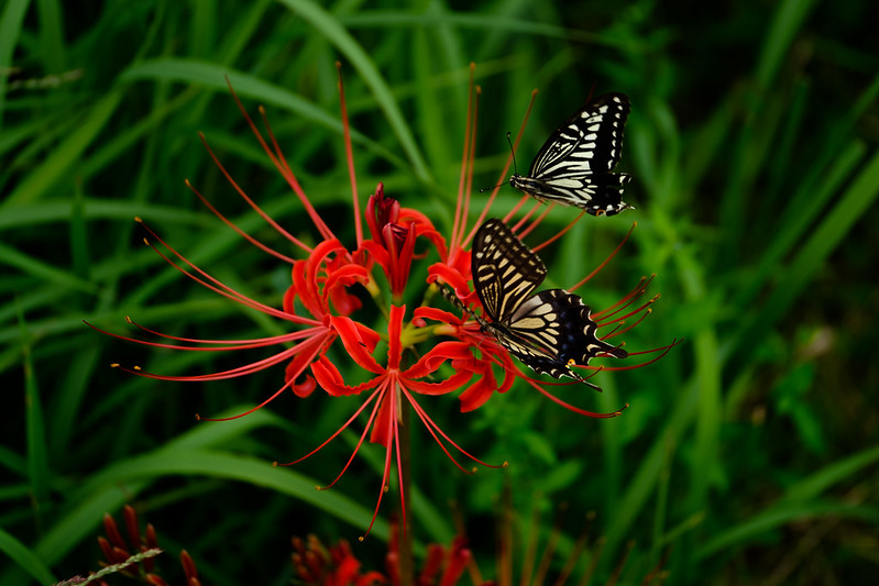 A couple of swallowtail butterfly