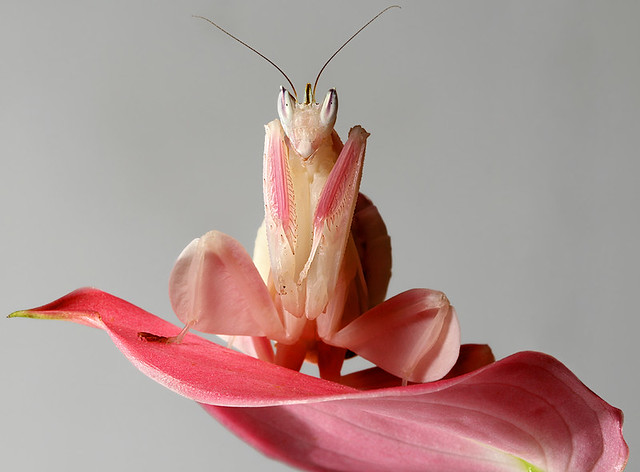 Sub-Adult Female Orchid Mantis