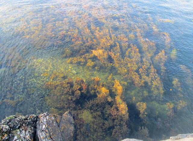 seaweed at Eilean Donan