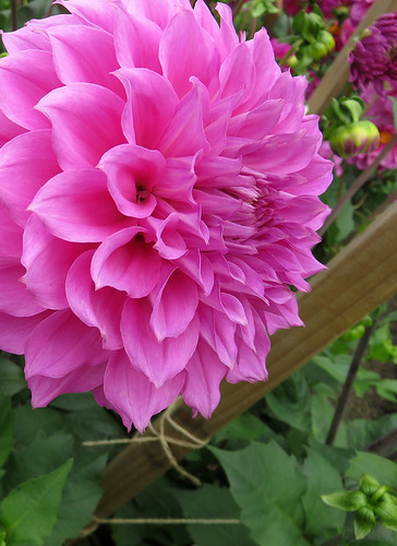 Pink Dahlias in the Dublin Botanical Garden in Ireland