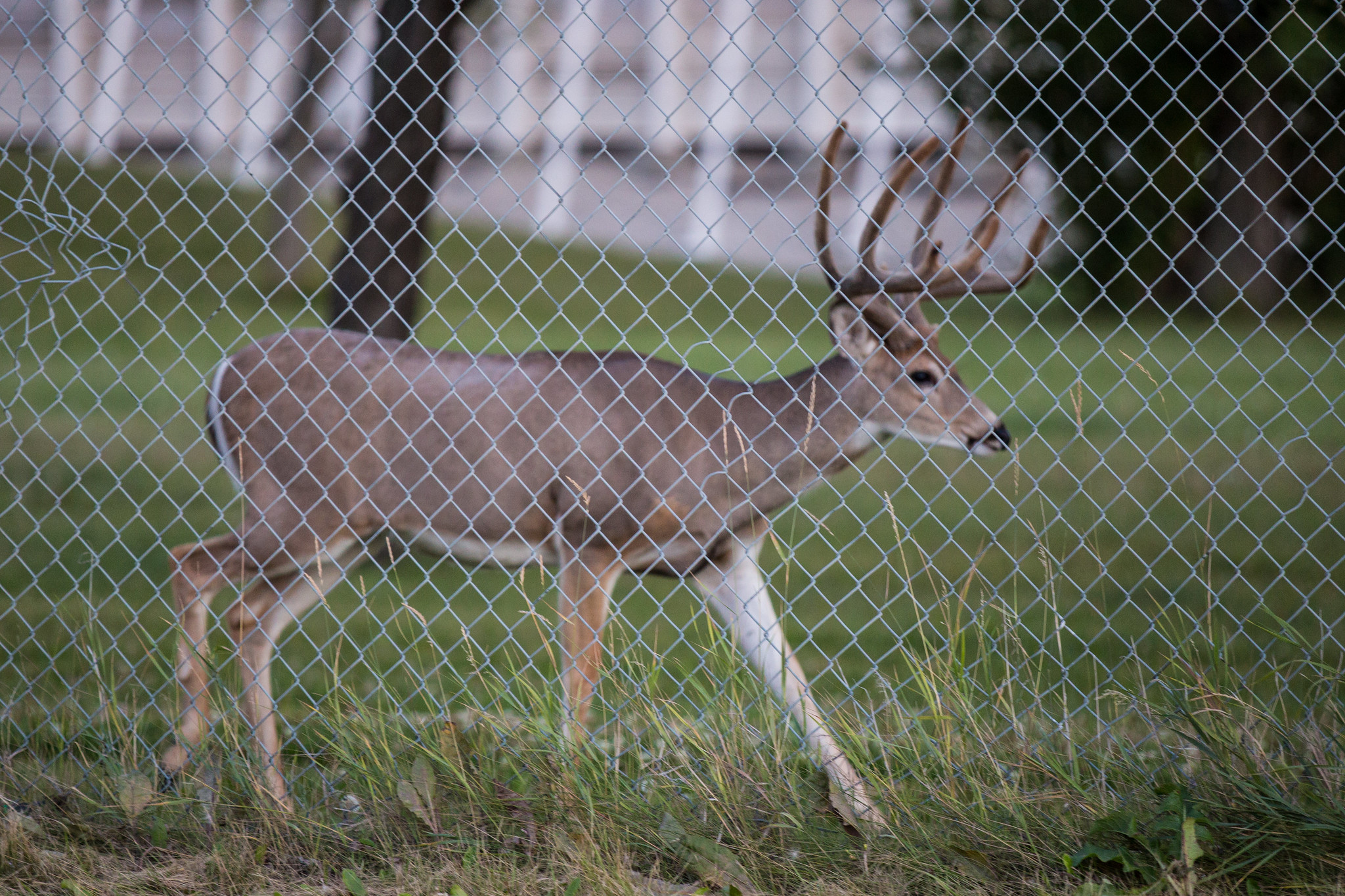 "The deer are behind a fence, but they likely leave the property from time to time, says wildlife biologist Colleen St. Clair. ""I would be very surprised if they are stuck in there and can't leave."" (Deer photos by Mack Male)"