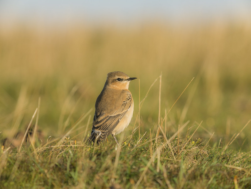 Wheatear, Pegsdon Hills, 3rc Sept 2016