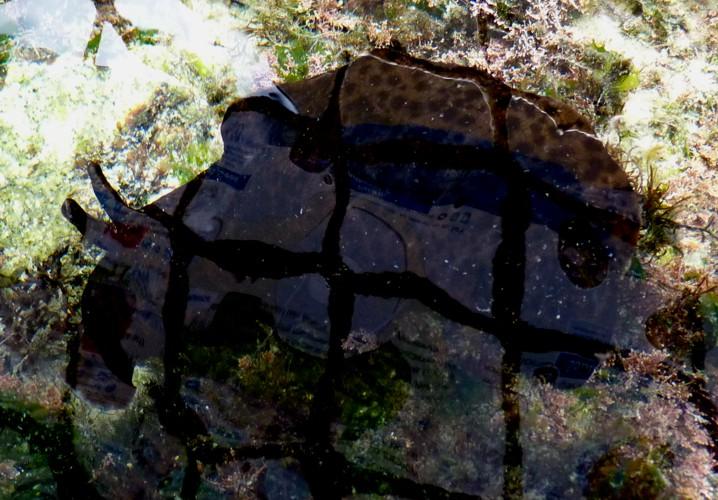 Aplysia californica 29138173961_bd4e66ae8c_o