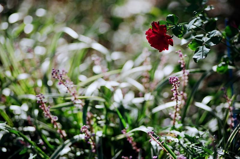 darkred roses