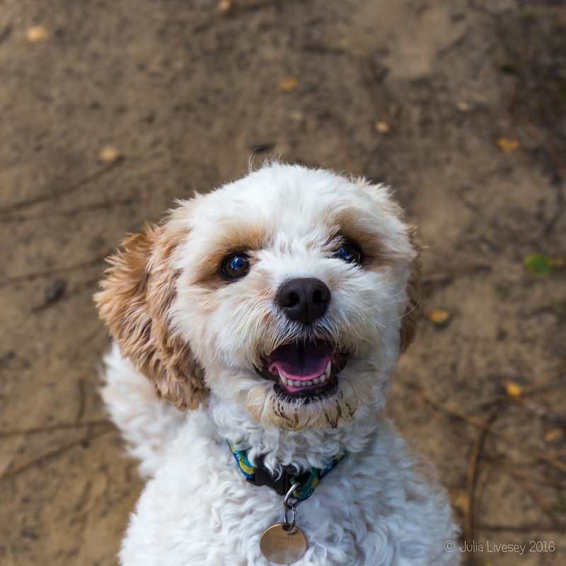 Meet Parsley the Cavachon