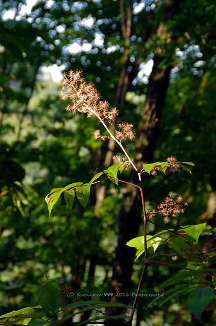 ウルシの枯れ花