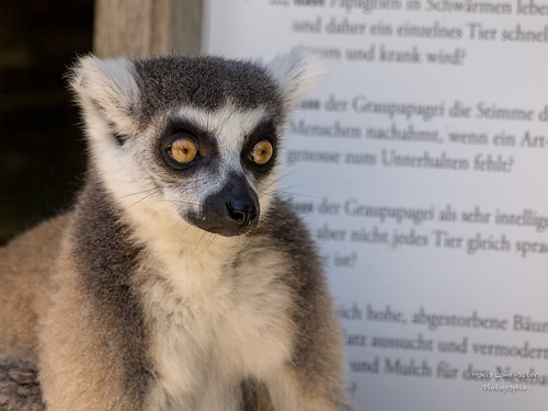 Katt im Zoo Salzburg