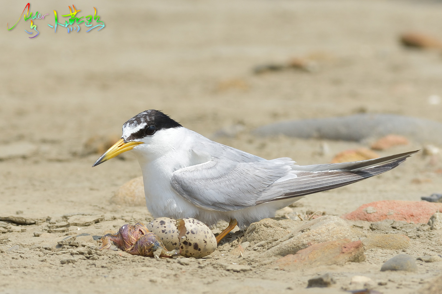 Little_Tern_4832