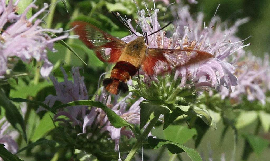 moth, clearwing hummingbird IMG_4820