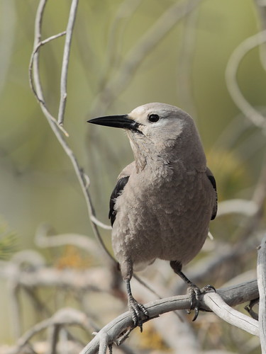 Clark's Nutcracker | by Hammerchewer