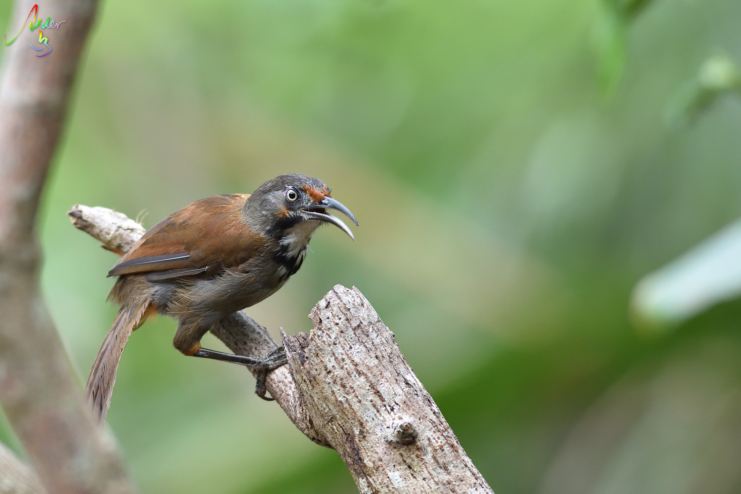 Rusty-cheeked_Scimitar_Babbler_5301