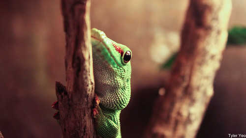Madagascar Giant Day Gecko | by @mist3ry30