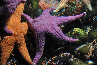 Purple Sea Star | by Truus & Zoo