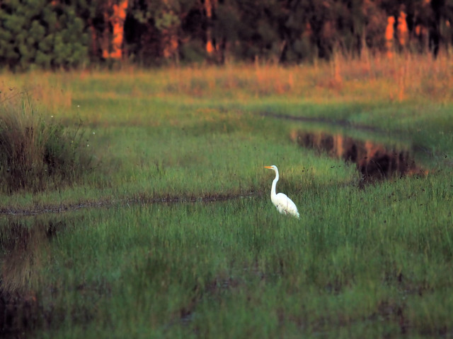 Great Egret in wet meadow HDR 20160822