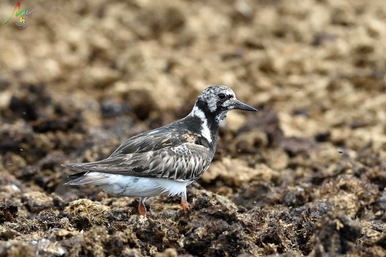 Ruddy_Turnstone_8366