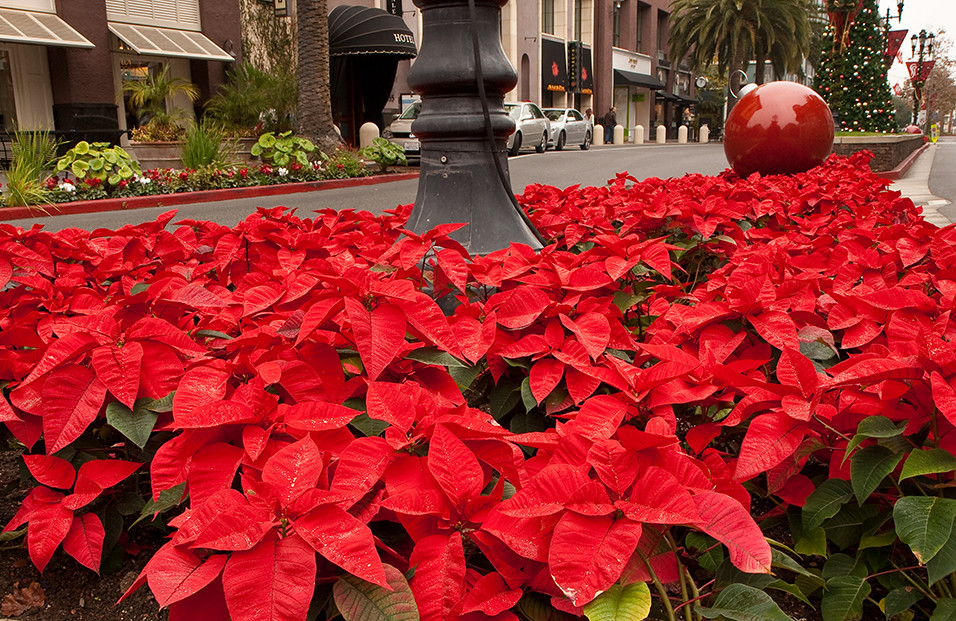 Poinsettias_0493a