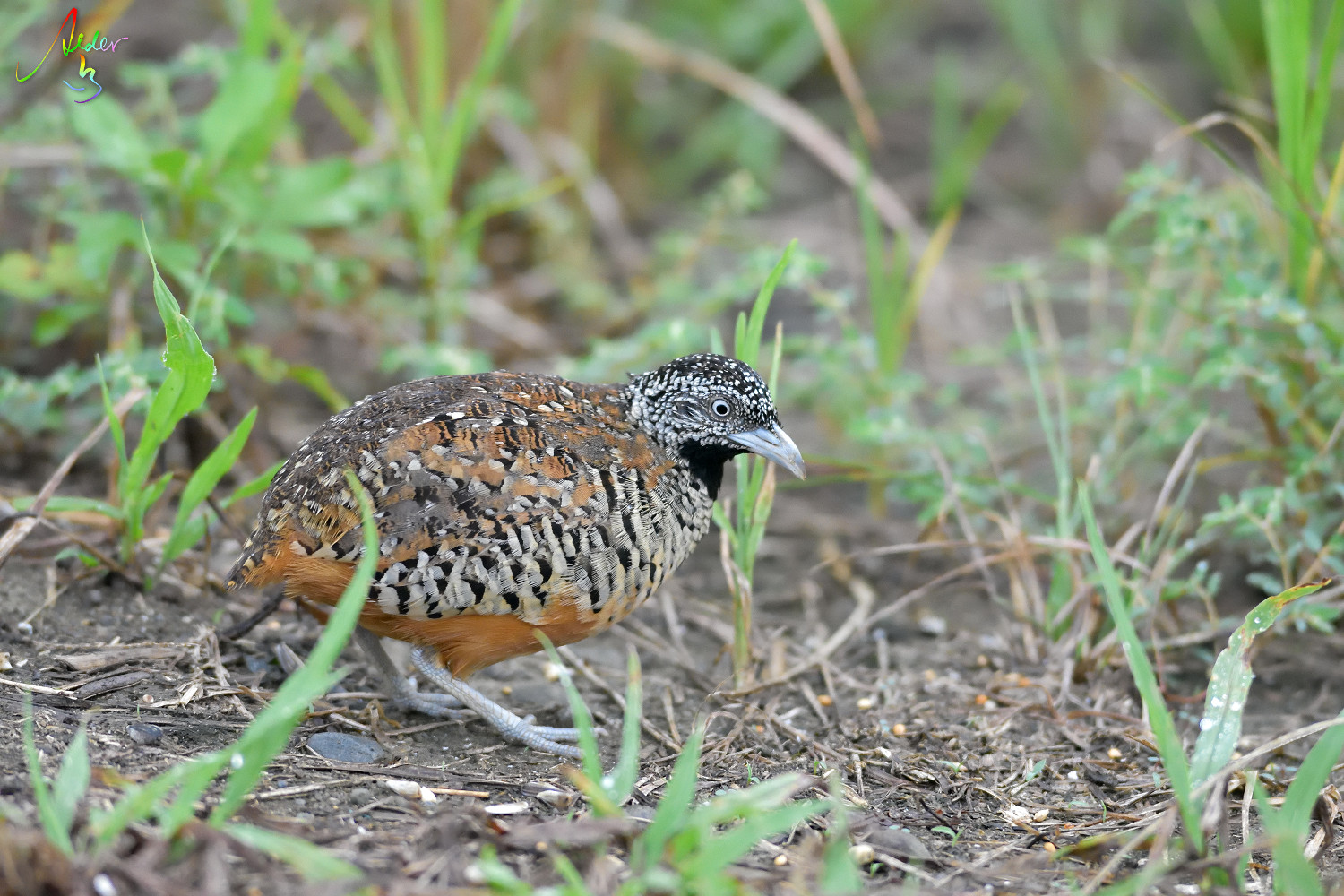 Barred_Buttonquail_1313