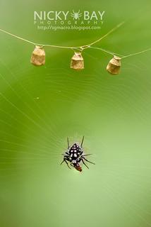 Orb Weaver Spider (Neogea nocticolor) - DSC_1280