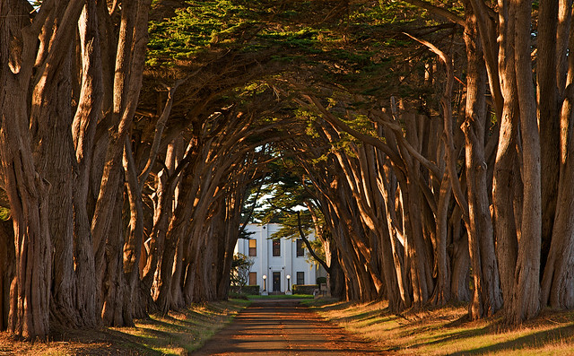 Cypress Tree Avenue at KPH, Point Reyes