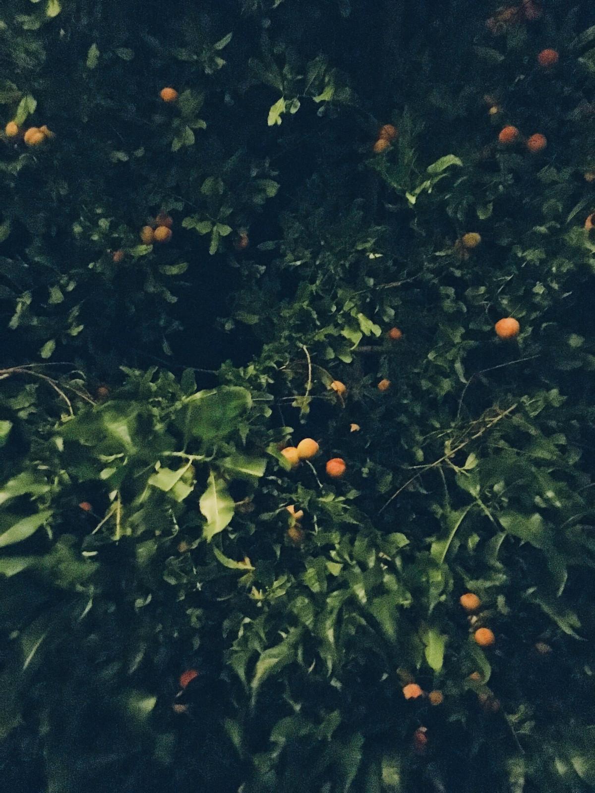 persikoträdet