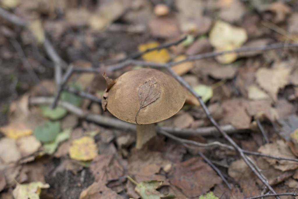Таинственный лес_подберезовик