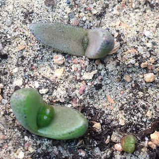 Pleiospilos simulans #seedlings #succulents #grownfromseed | by yougrowgirl