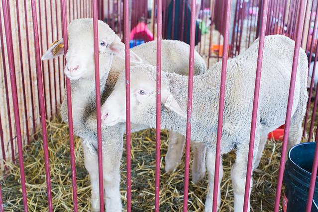 Sweet lambs.