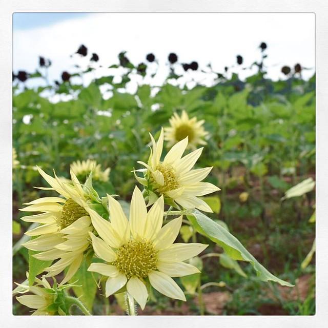 「さわやか色のひまわり」 ひまわり畑に50種類のひまわりを植えてるのでいろんなのがあるんですね。 #ひまわり #ひまわり畑
