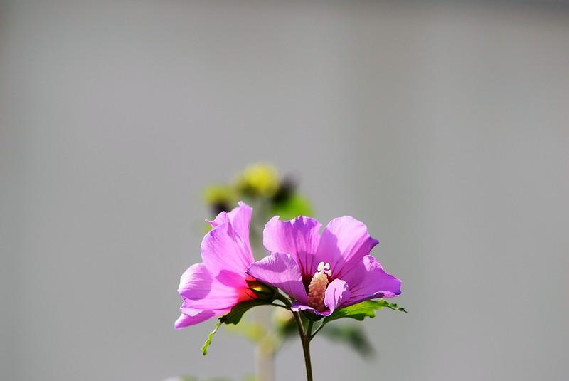Hibiscus 26.09 (3)