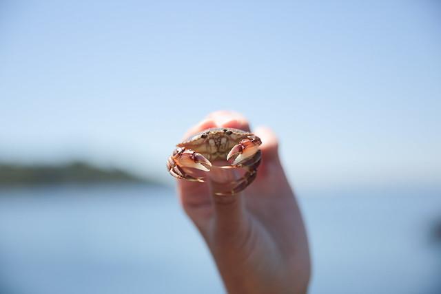 tiny pacific crab