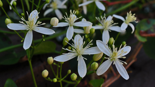 Belle Isle - Clematis paniculata