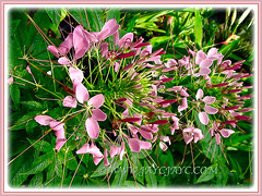 Charming pink inflorescences of Cleome hassleriana (Spider Flower, Spiderplant, Pink Queen, Grandfather's Wiskers), shot on 27 July 2008