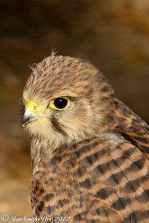 Kestral | by WaterBugsPics