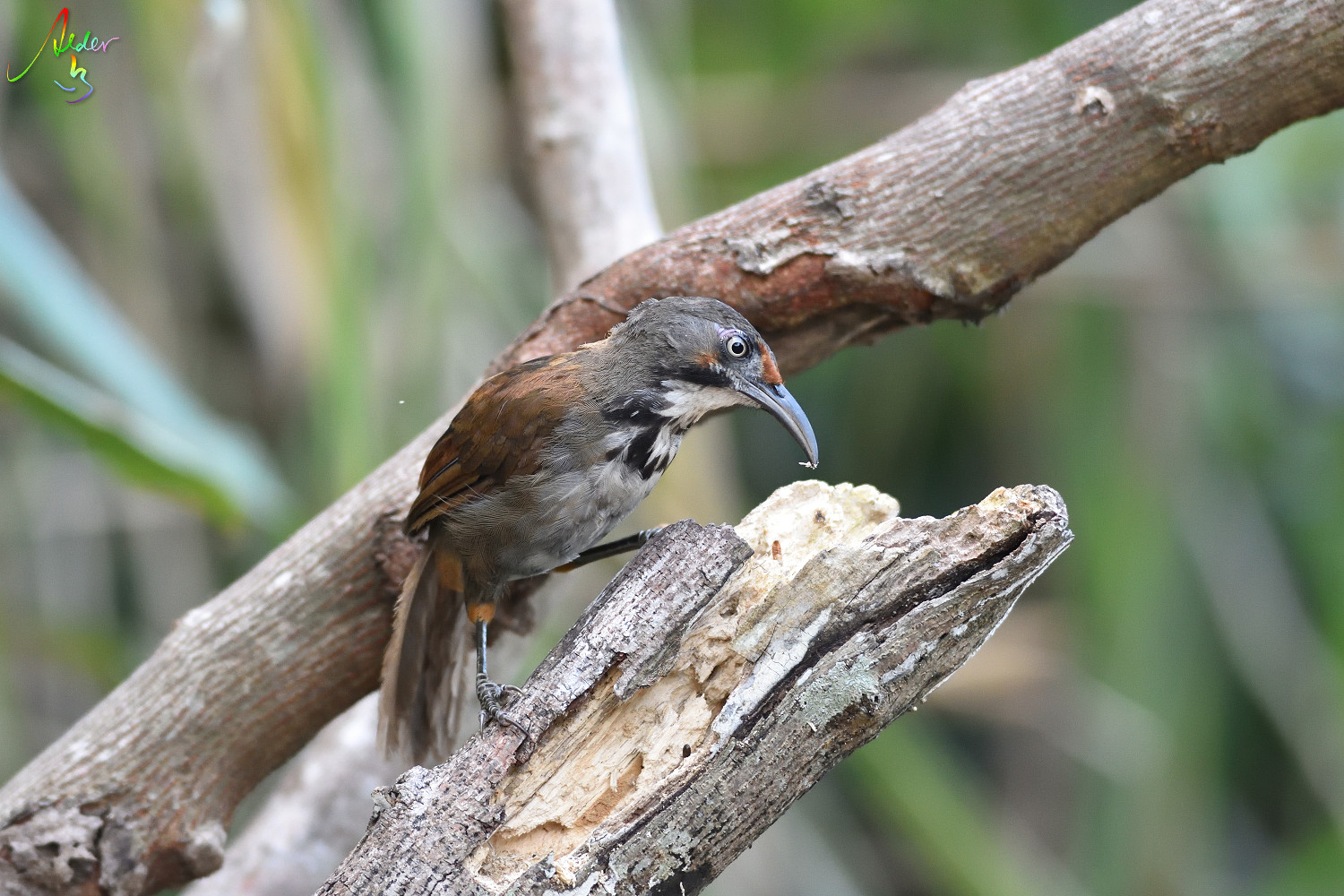 Rusty-cheeked_Scimitar_Babbler_5064