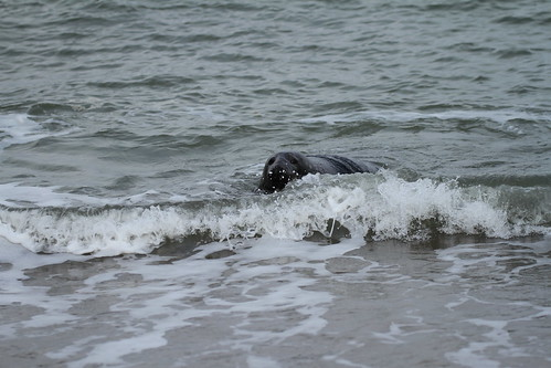 Grey Seal | by TonySutton410