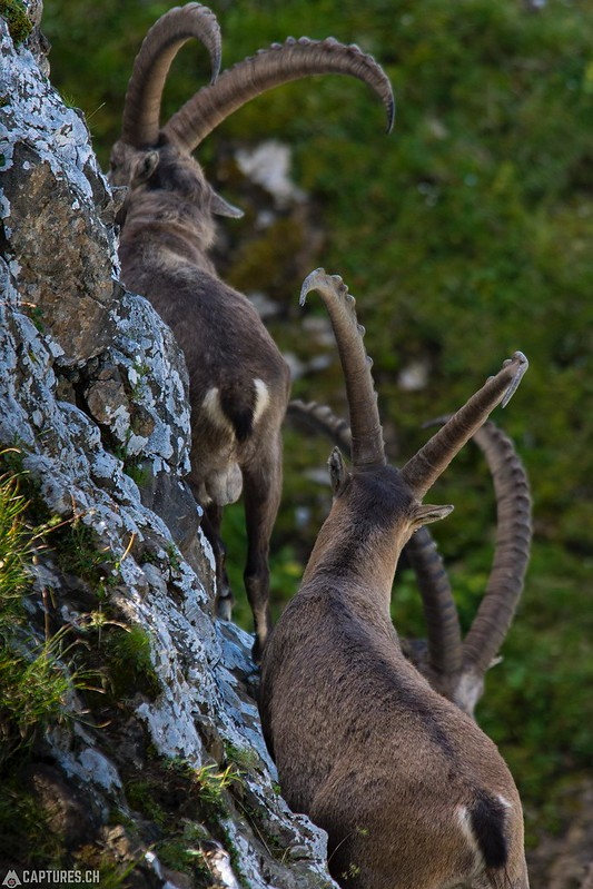 Alpine Ibex 3 - Brienzer Rothorn